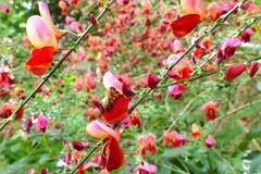 Abeja que chupa el néctar fuera de la flor escocesa de la escoba Imagenes de archivo