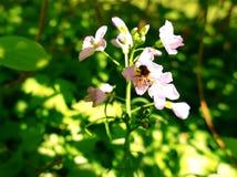 Abeja que chupa el néctar fuera de wildflower Fotos de archivo