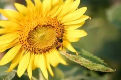 Abeja que chupa el polen de un girasol el día soleado Foto de archivo libre de regalías