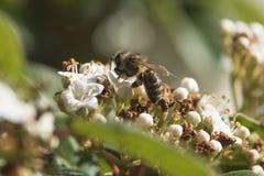 Abeja que chupa el polen de una flor Fotos de archivo