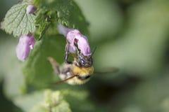 Abeja que chupa el polen de una flor salvaje Imagenes de archivo