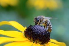 Abeja que chupa en la flor Fotos de archivo libres de regalías