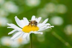Abeja que chupa un néctar de la flor de la margarita Foto de archivo