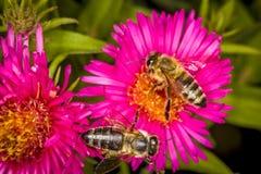 Abeja que coge la miel Fotografía de archivo