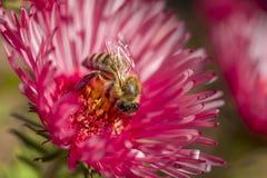 Abeja que coge la miel Imagen de archivo libre de regalías