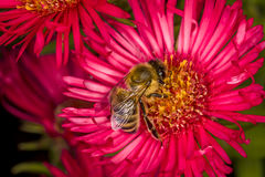 Abeja que coge la miel Foto de archivo