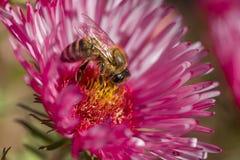 Abeja que coge la miel Fotos de archivo