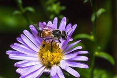 Abeja que come, chupando el flower& violeta x27; jarabe de s Fotografía de archivo libre de regalías
