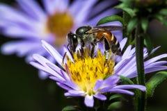 Abeja que come, chupando el flower& violeta x27; jarabe de s Fotografía de archivo