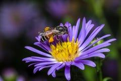 Abeja que come, chupando el jarabe de la flor violeta Imágenes de archivo libres de regalías