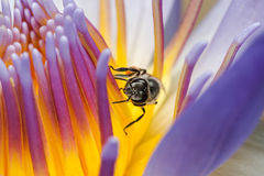 Abeja que come el jarabe en la flor de Lotus Imagen de archivo