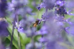 Abeja que come el néctar en las pequeñas flores púrpuras en jardín fotografía de archivo
