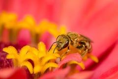 Abeja que come el polen Imagen de archivo libre de regalías