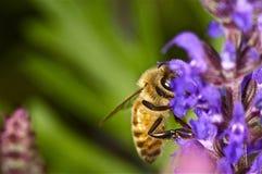 Abeja que come en una flor púrpura Fotos de archivo libres de regalías