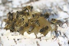 Abeja que come la miel Fotos de archivo