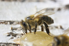Abeja que come la miel Foto de archivo