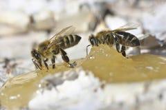 Abeja que come la miel Fotografía de archivo