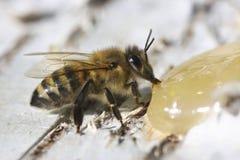 Abeja que come la miel Imágenes de archivo libres de regalías