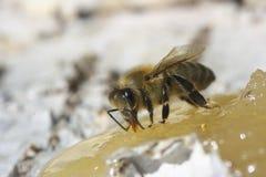 Abeja que come la miel Imagen de archivo libre de regalías