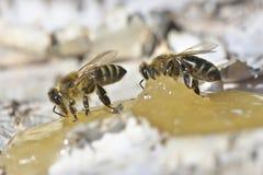 Abeja que come la miel Imagenes de archivo