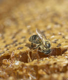 Abeja que come la miel Fotografía de archivo libre de regalías