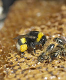 Abeja que come la miel Imagen de archivo