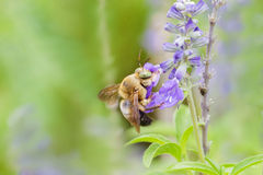 Abeja que come la miel de la flor azul Imagen de archivo