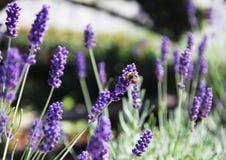 Abeja que come la miel de una flor azul en un campo del verano Imagenes de archivo