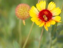 Abeja que consigue el polen Fotografía de archivo