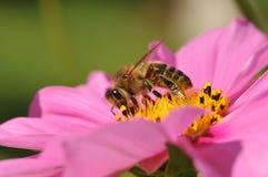 Abeja que consigue la miel Imagen de archivo libre de regalías