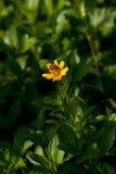 Abeja que consigue la miel de la flor amarilla Imagen de archivo libre de regalías
