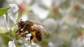 Abeja que cosecha el polen Foto de archivo libre de regalías