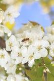 Abeja que cosecha el polen Imágenes de archivo libres de regalías