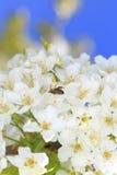 Abeja que cosecha el polen Fotos de archivo libres de regalías