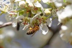 Abeja que cosecha el polen Imagenes de archivo