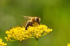 Abeja que cosecha el polen Fotografía de archivo libre de regalías