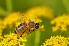 Abeja que cosecha el polen Foto de archivo