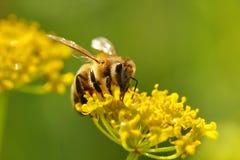 Abeja que cosecha el polen Imagen de archivo
