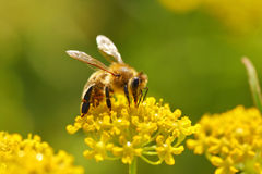 Abeja que cosecha el polen Fotografía de archivo