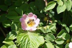 Abeja que cosecha el polen Fotos de archivo