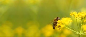Abeja que cosecha el polen de las flores Foto de archivo libre de regalías