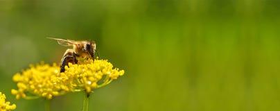 Abeja que cosecha el polen de las flores Imagen de archivo libre de regalías