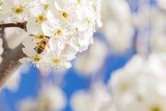 Abeja que cosecha el polen de los brotes florecientes del árbol Fotos de archivo libres de regalías