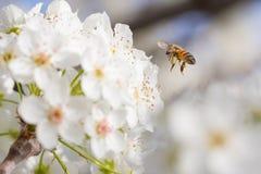 Abeja que cosecha el polen de los brotes florecientes del árbol Imágenes de archivo libres de regalías
