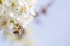 Abeja que cosecha el polen de los brotes florecientes del árbol Fotografía de archivo