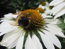 Abeja que cosecha el polen en una flor blanca Fotos de archivo