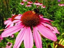 Abeja que cosecha el polen en una flor rosada imponente Imagen de archivo