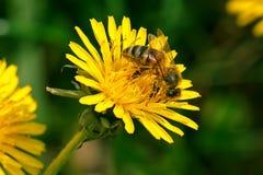 Abeja que cosecha el polen para la miel Fotografía de archivo