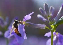 Abeja que cosecha la miel Fotos de archivo libres de regalías