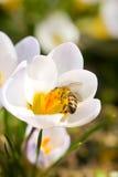 Abeja que cosecha la miel de las flores Fotos de archivo libres de regalías